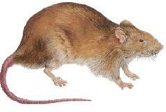 Orlando Florida Rodent Identification