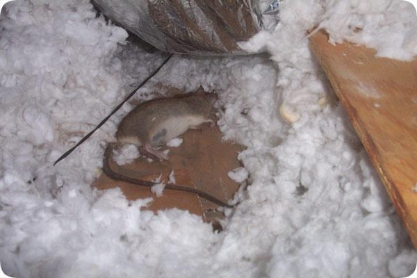 Orlando Fl Dead Rat Removal