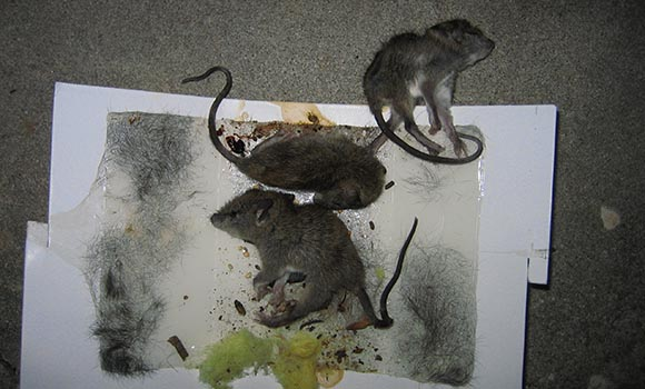 Inhumane Glue Traps For Rats