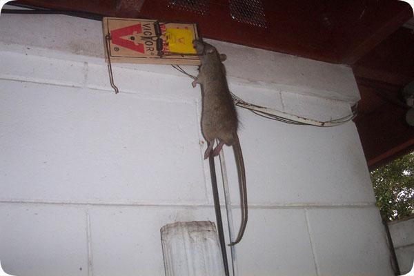 Habitat roof rats attics amp buildings