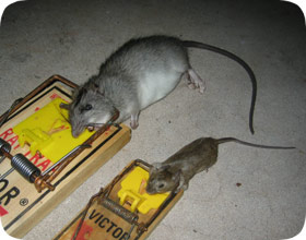 how to catch mice on sticky pads