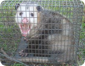 Orlando Opossum Control Company Possum