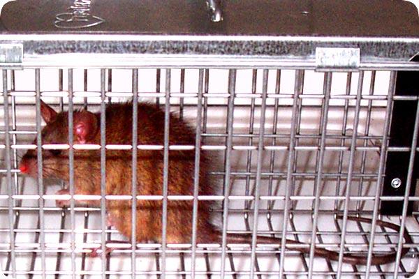Photos Of Live Rats