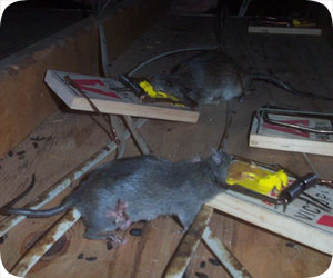 Orlando rat trapping pest company - Trappen rots ...