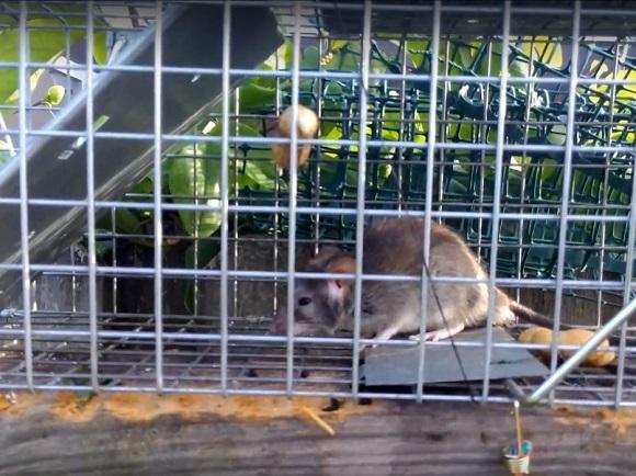 Do rats make chirping noises?