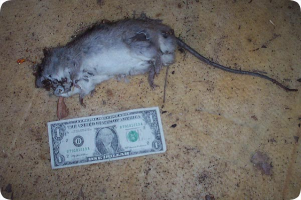 Photos Of Dead Rats
