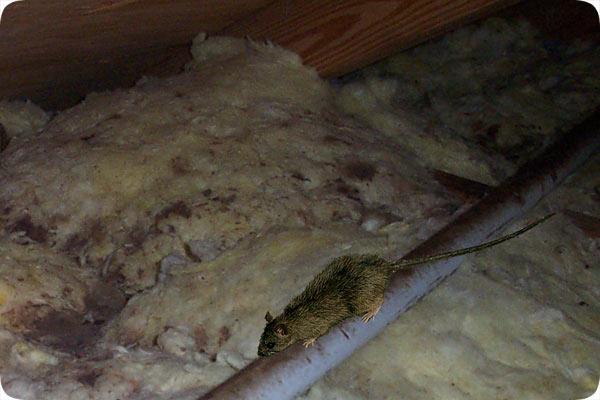 Orlando Pest Control U0026 Rat Removal