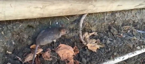 How to get rid of rats outside