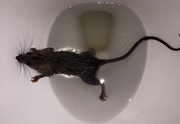 Do Rats Enter a Building Through the Plumbing?