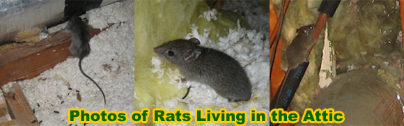 Rat Removal From House Attic Ceiling Wall Building