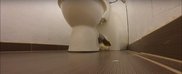 How to get a rat out of the toilet