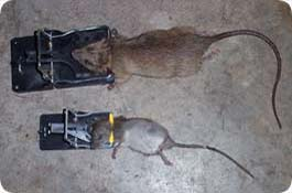 Rat Trapping Photos