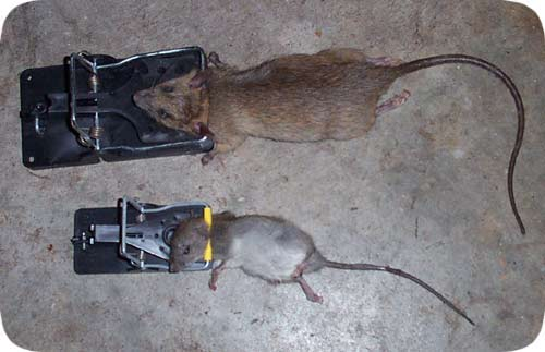 Are Rats And Rodents Eating Up Your Profits